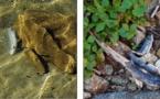 Des dizaines de poissons retrouvés morts dans le Melu