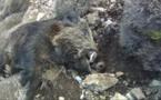GHISONACCIA  Sangliers dans les poubelles : société et fédération de chasse réagissent