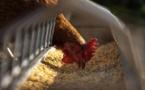Grippe aviaire, des mesures de protection renforcées en Corse-du-Sud