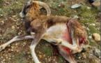 Mouflon mort dans le Niolu : la dépouille reste introuvable