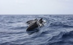 VIDEO - Le ballet magique des dauphins qui nagent près de l'Aldilonda à Bastia