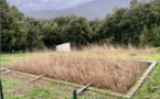 PIÈVE DE L'ORNANO  Les Step plantées de roseaux prennent racine dans le Taravo