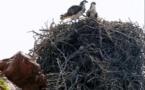 Balbuzard pêcheur : 4 nouveaux nids protégés