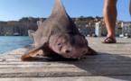 Metà squalu è metà porcu : un animale pescatu à l'isula d'Elba hè une spezia minacciata d'estinzione