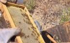 Récolte en chute libre : l'abeille et le miel corse en sursis